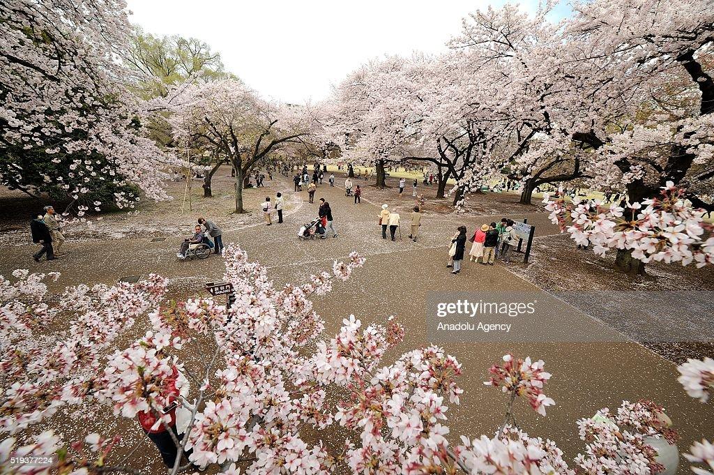 Japanese enjoy the last day of cherry blossom : News Photo
