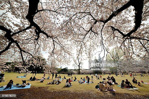 People enjoy the last beautiful day of Hanami a traditional picnic between family friends or colleague to enjoy the cherry blossom and the poetry of...