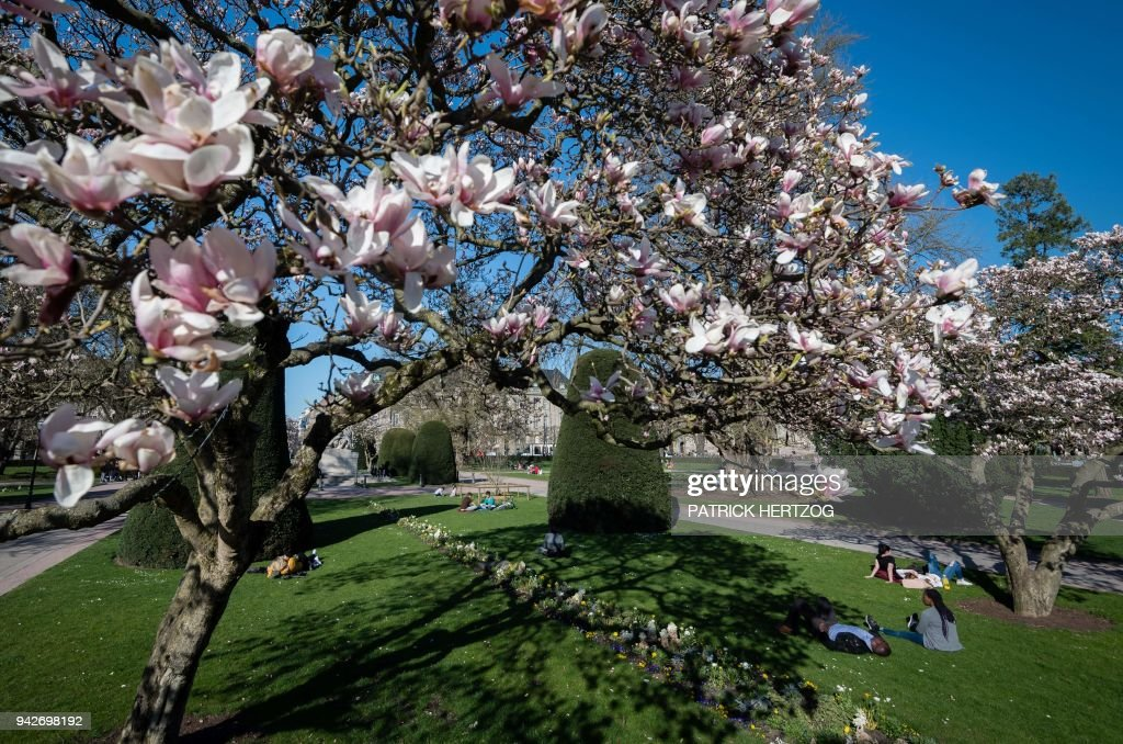 People Enjoy The Sun Under A Blooming Magnolia Tree In A Park In