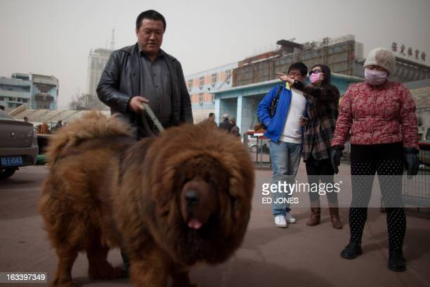 People gather around a Tibetan mastiff dog displayed at a mastiff show in Baoding Hebei province south of Beijing on March 9 2013 Fetching prices up...