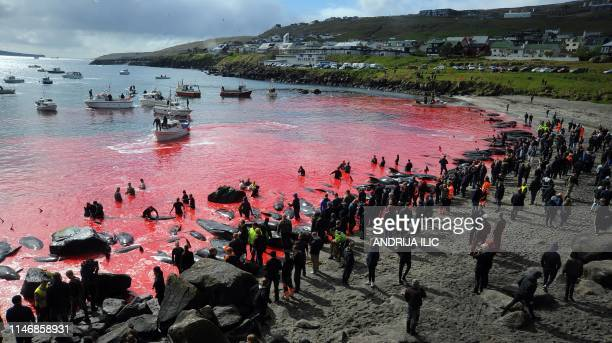 People gather in front of the sea, coloured red, during a pilot whale hunt in Torshavn, Faroe Islands, on May 29, 2019. - As local fishermen spot...