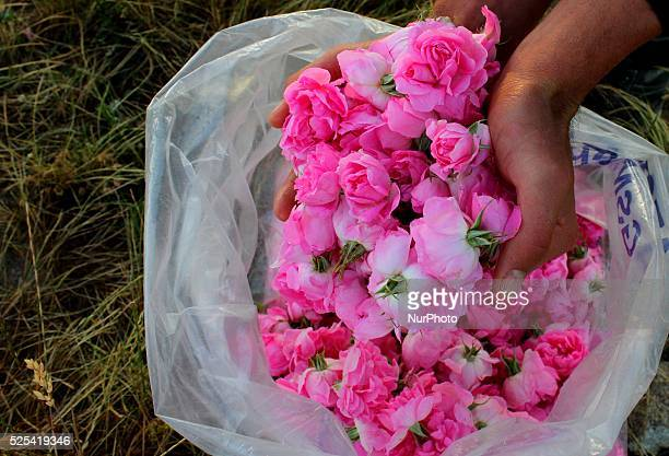 People gather roses in the early morning near the Bulgarian town of Strelcha, some 100 kilometers east of the Bulgarian capital Sofia, Saturday, May...
