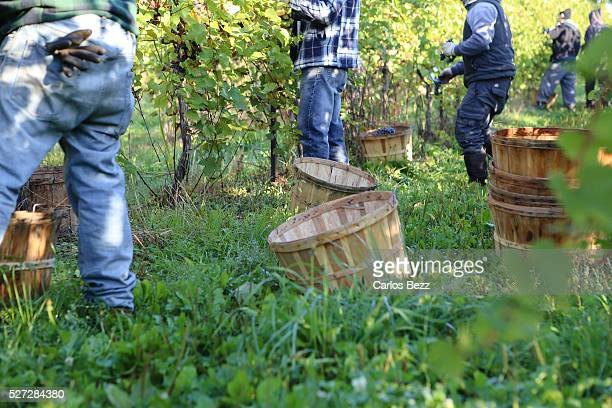 people harvesting grapes - farm worker stock pictures, royalty-free photos & images