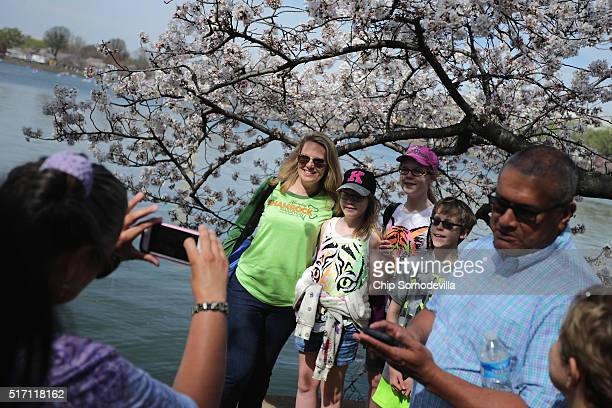 People have their photographs made among the cherry trees that surround the Tidal Basin near the National Mall March 23 2016 in Washington DC The...