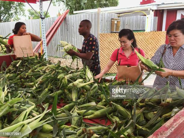 People husking fresh sweet corn at a farm in Markham Ontario Canada on September 02 2019