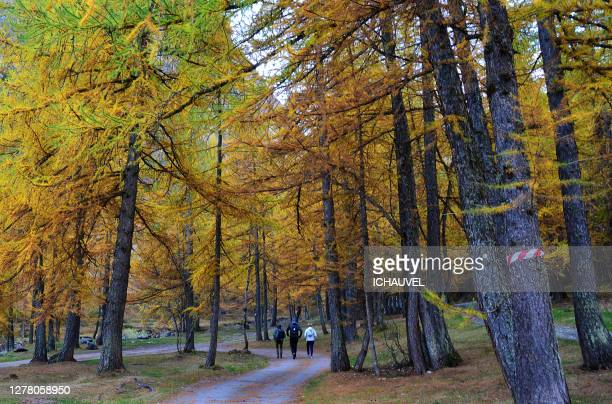 people in the forest france - european larch stock pictures, royalty-free photos & images