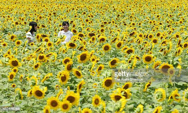 People in the fully blossomed sunflower field on July 16 2014 in Sayo Hyogo Japan 12 million sunflowers are planted in 241 hectare field
