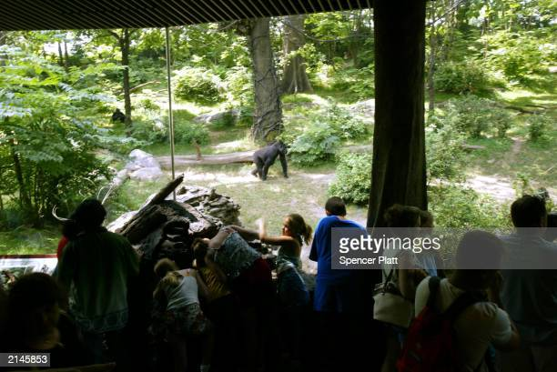 People look at a lowland gorillas at the Bronx Zoo's Congo Gorilla Forest exhibit July 8 2003 in New York City The 65acre African rain forest...
