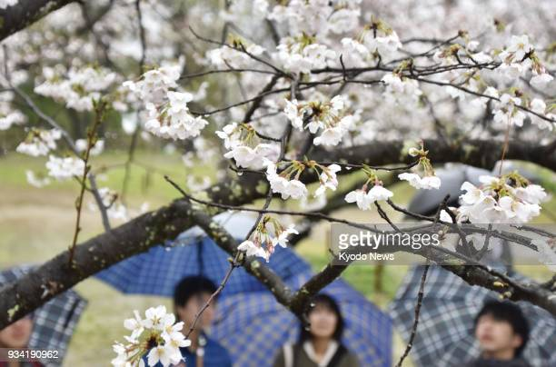 People look at cherry blossoms at Kochi Castle Park in Kochi western Japan on March 19 2018 The trees have reached full bloom earlier than any other...