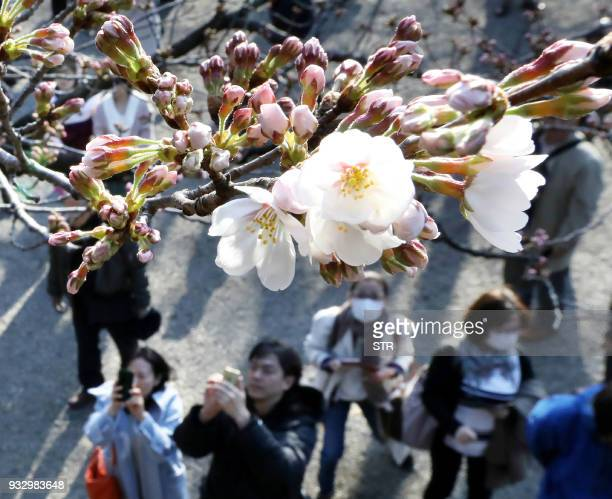 People look at flowering cherry blossoms and buds at Tokyo's Yasukuni Shrine on March 17 2018 The weather agency announced the start of the cherry...