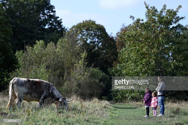 People look at re-introduced cows grazing in Wanstead Park, east London, on September 17 as the Corporation of London start a pilot a scheme with the...