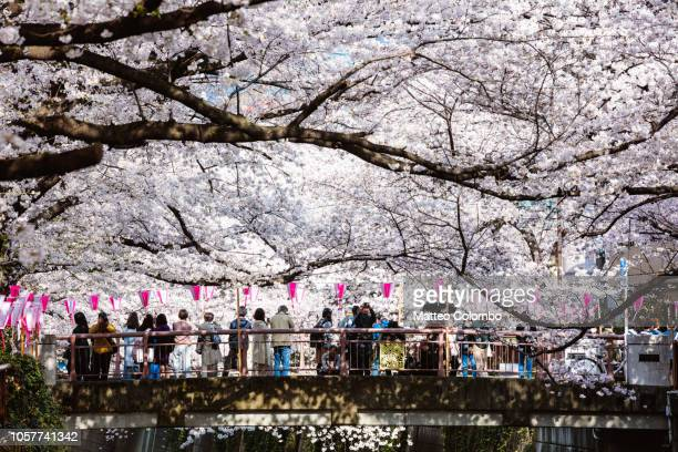 people looking at cherry blossoms, naka meguro, tokyo - hanami stock pictures, royalty-free photos & images