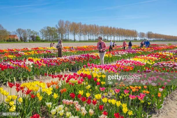"""personas que buscan las variaciones del tulipán en un campo en primavera - """"sjoerd van der wal"""" or """"sjo"""" fotografías e imágenes de stock"""
