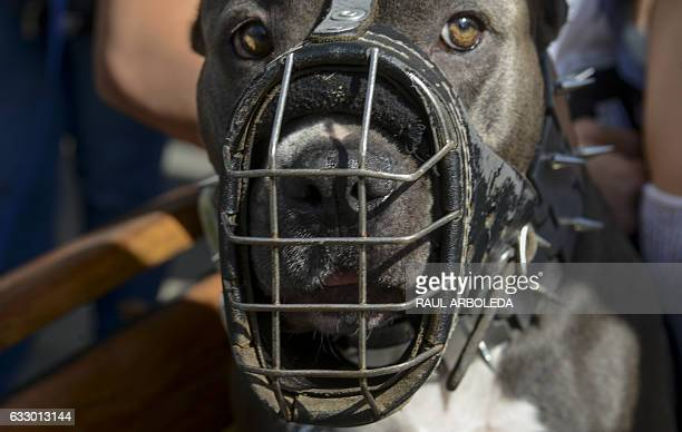 People march with their pitbull terrier dogs in support of their animals in Medellin Colombia on January 29 after last week a 14monthold child was...