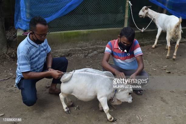 People measure a dwarf cow named Rani, whose owners applied to the Guinness Book of Records claiming it to be the smallest cow in the world, at a...