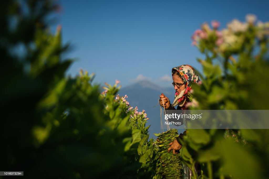 Tobacco Harvest In Bulgaria
