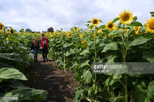 People navigate their way through a sunflower maze in the village of Tarbock near Liverpool, north west England on July 25, 2020. - Farmer Olly...