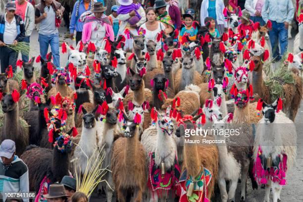 personnes à côté d'un groupe de lamas qui défilent pendant le défilé du dimanche des rameaux de pâques à la ville d'ayacucho, pérou. - cloche de paques photos et images de collection
