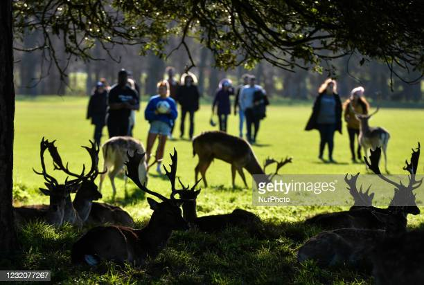 People observe a herd of wild deer resting in sunny spring weather in Phoenix Park, Dublin, Ireland, during level 5 COVID-19 lockdown. On Friday, 2...