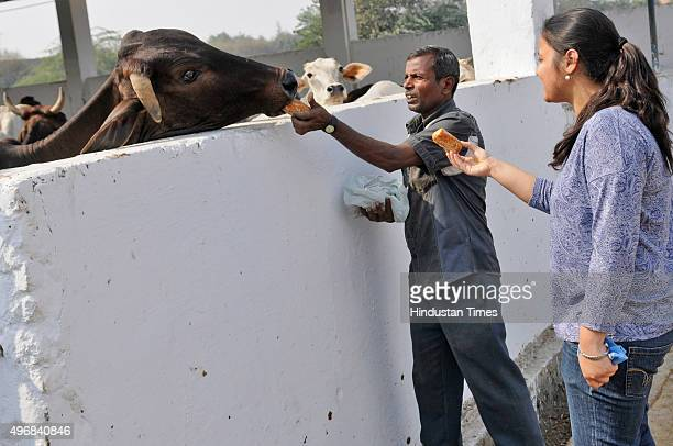 People offer food to cows during Govardhan Puja also called Annakut at Gaushala on November 12 2015 in Noida India Govardhan Puja is celebrated with...