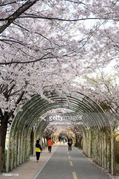 People On Covered Road Below Cherry Trees