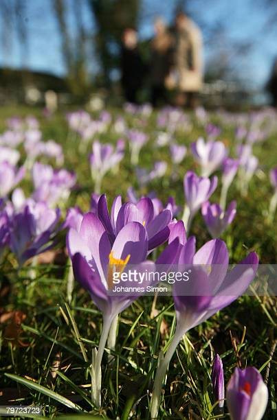 12 People pass blossoming flowers at Stadtpark during a fine and sunny day on February 12 2007 in BadenBaden Germany Currently Germany experiences...