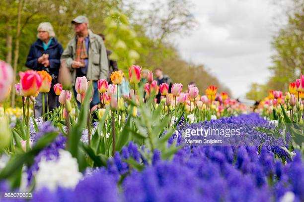 people passing colorful tulips at keukenhof - keukenhof gardens stock pictures, royalty-free photos & images