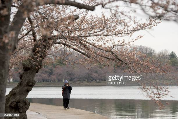 People photograph damaged cherry blossom trees as they begin to bloom around the Tidal Basin in Washington DC March 18 following unseasonably cold...
