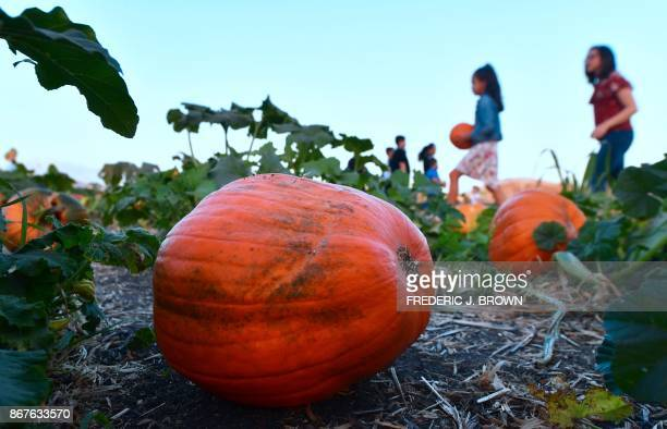 People pick their pumpkins from what remains at a pumpkin patch in Pomona, California on October 28, 2017 ahead of Halloween.