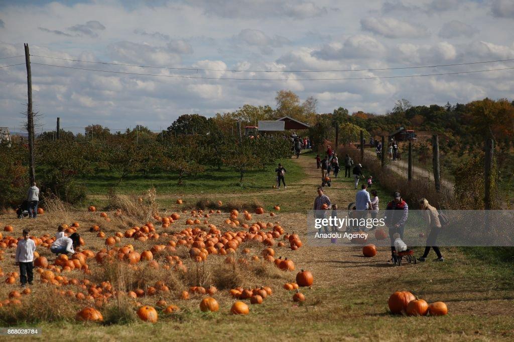 Pumpkin Picking in New York : News Photo