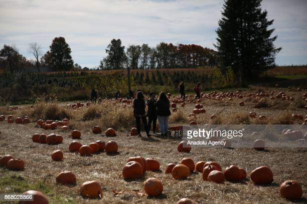 People pick up pumpkins at the Wilkens Fruit and Fir Farm in Yorktown Heights in New York state United State on October 28 2017