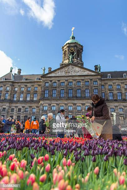 people picking tulip flowers at festival - royal palace amsterdam stock pictures, royalty-free photos & images