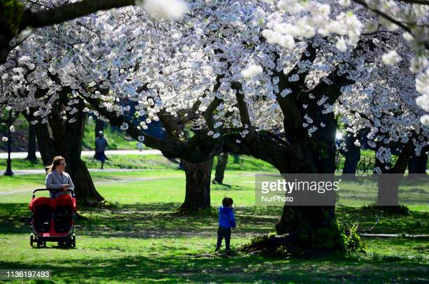 People relax at the cherry blossom lined Schuylkill river banks in the Fairmount Park section of Philadelphia PA on April 10 2019 Each spring the...