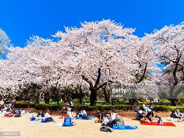 People relax under fully bloomed cherry blossom trees in Tokyo.