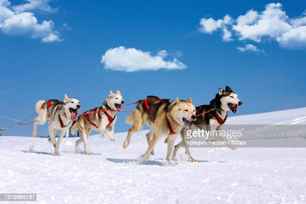 people riding horses on snow covered field against sky,france - マラミュート犬 ストックフォトと画像