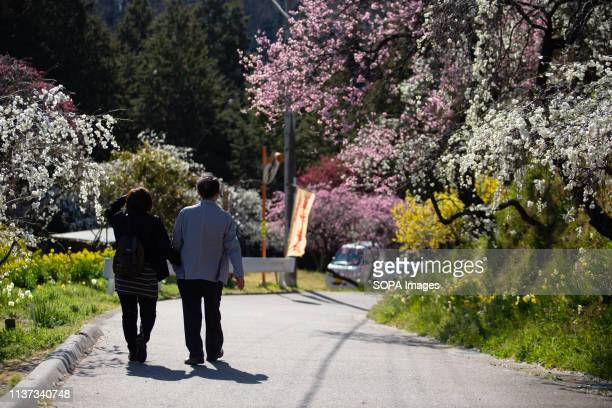 People seen enjoying the view of the weeping peach trees Approximately 3000 weeping peaches flourish in the Asahi District's Kaminakacho Toyota Aichi...