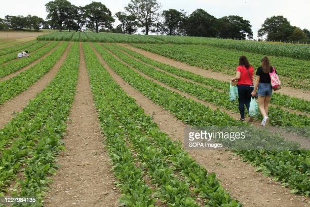 People seen harvesting spinach at the Parkside Farm Pick Your Own. Pick your own crop farms is a popular summer 'event' in the UK with people going...