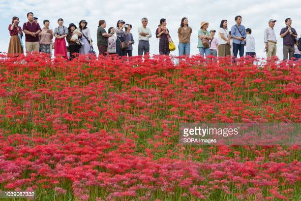 People seen looking at the wedding in a field of Lycoris Radiatas in full bloom near the Yakachi River in Handa city This type of traditional wedding...