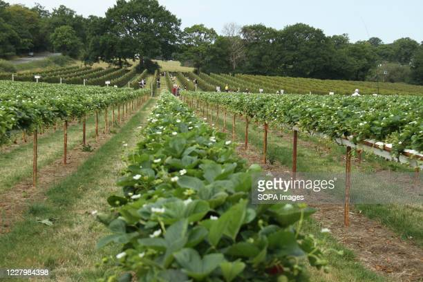 People seen picking strawberries at the Parkside Farm Pick Your Own Pick your own crop farms is a popular summer 'event' in the UK with people going...