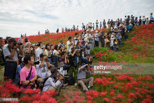 People seen taking pictures of a wedding in a field of Lycoris Radiatas in full bloom near the Yakachi River in Handa city Many traditional weddings...