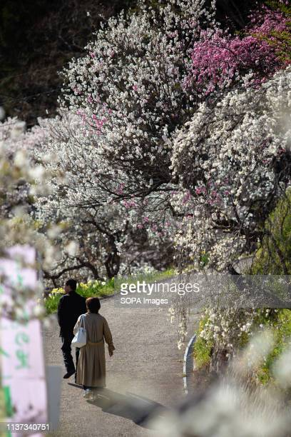 People seen walking by the weeping peach trees Approximately 3000 weeping peaches flourish in the Asahi District's Kaminakacho Toyota Aichi...