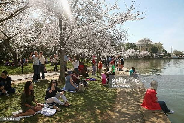 People sit near the blooming Cherry Blossoms at the Tidal Basin March 24 2016 in Washington DC The National Park Service has predicted that most of...