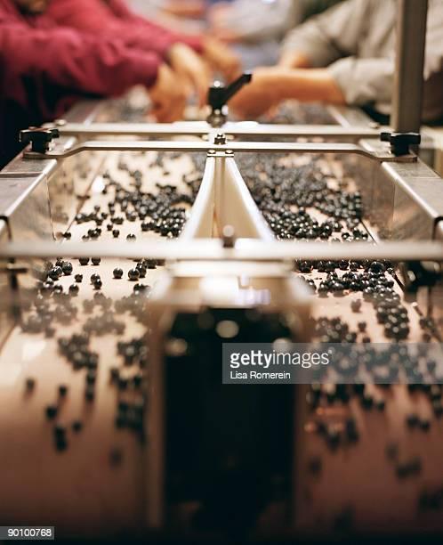 people sorting cabernet sauvignon grapes - cabernet sauvignon grape - fotografias e filmes do acervo