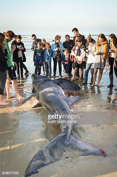 People stand around a dead basking shark at the North Sea beach of De Panne on October 29 2016 The shark is a Cethorinus Maximus measuring 3 metres a...