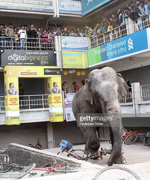 People stand on balconies to watch a wild elephant running amok the vehicles at a market after it was tranquilised by wildlife officials on February...