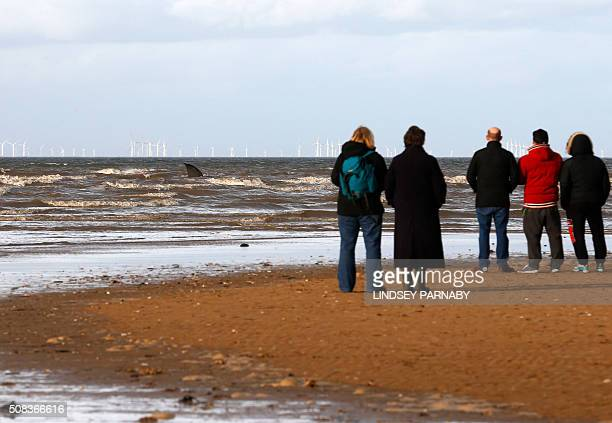 People stand watching a stranded sperm whale founders in shallow water at high tide at Hunstanton Beach in Norfolk eastern England on February 4 2016...