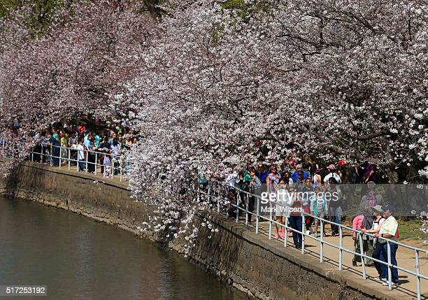 People stop to admire the blooming Cherry Blossoms at the Tidal Basin March 24 2016 in Washington DC The National Park Service has predicted that...