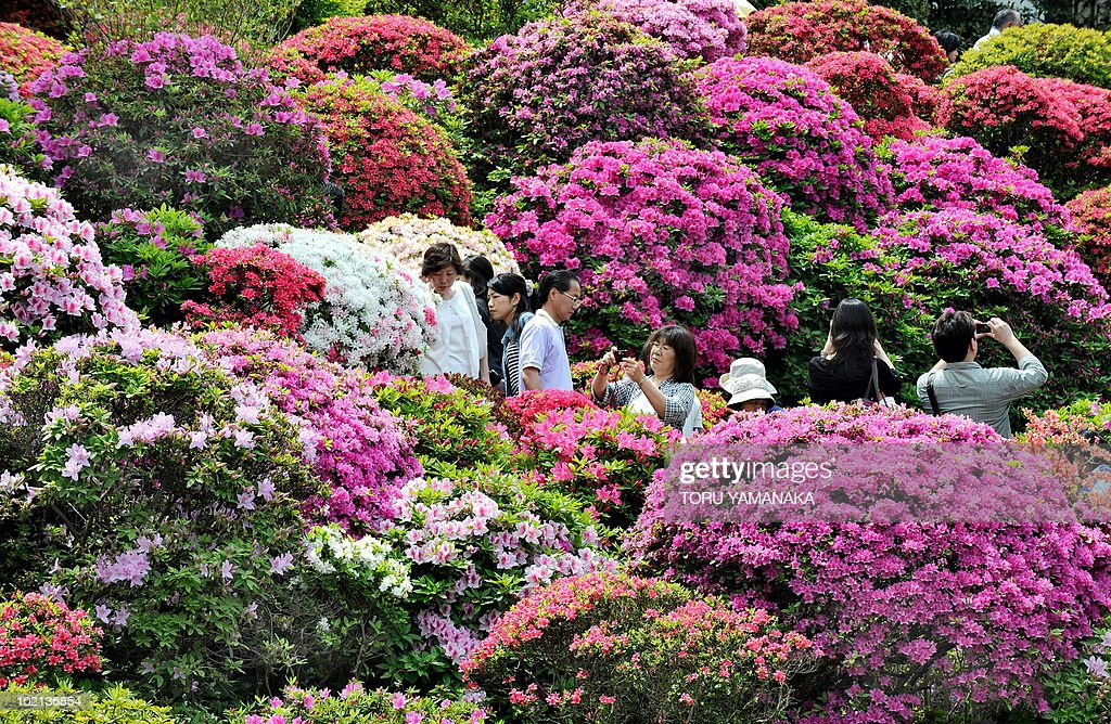 People stroll amid azaleas in full-bloom at Nezu Shrine in Tokyo on May 4, 2010. Many people visit the shrine to enjoy the azaleas during the week-long spring holiday until May 5. AFP PHOTO/Toru YAMANAKA