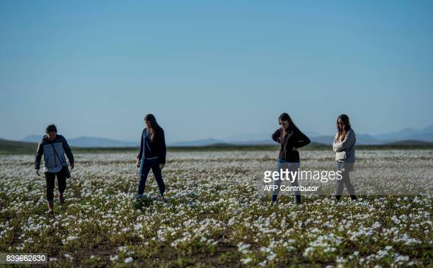 People stroll amid flowers blooming in the Huasco region on the Atacama desert some 600 km north of Santiago on August 262017 A gigantic mantle of...