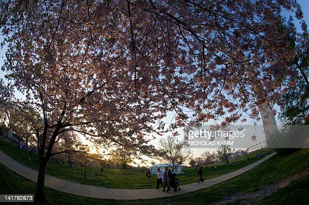 People stroll among blossoming cherry trees near the Washington Monument in Washington on March 23, 2012. The National Cherry Blossom Festival runs...